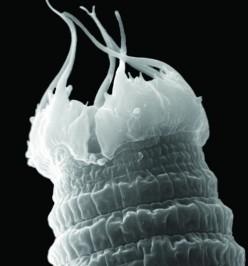 Worm close-up: The toughest of the tough, Scottnema lindsayae nematodes live in Antarctica's harshest soils. Credit: Manuel Mundo-Ocampo