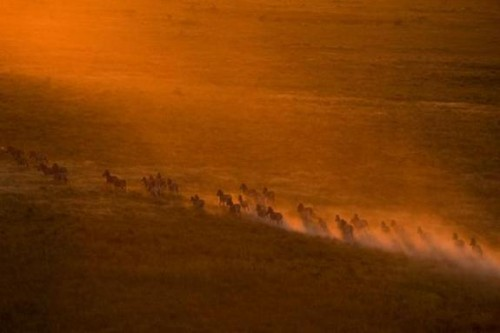 Zebra migration in Botswana. Filmed by National Geographic Explorers-in-Residence Dereck and Beverly Joubert.