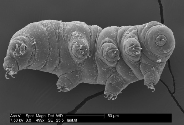 A tardigrade strikes a pose for the microscope. Credit: Byron Adams.